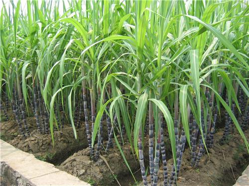 Diploma Course in Sugarcane Productivity & Maturity Management